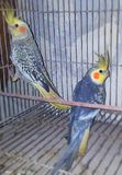 Голубые попугаи Cockatiels Стоковое Изображение