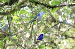 Голубые птицы на ветви дерева, Guanacaste, Коста-Рика Стоковые Фотографии RF
