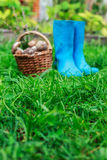 Голубые резиновые ботинки и корзина вполне грибов на предпосылке травы Стоковая Фотография RF