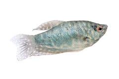 Голубые рыбы аквариума осфронемовых изолированные на белизне Стоковое Изображение RF
