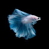 Голубые рыбы betta Стоковая Фотография RF