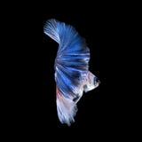 Голубые рыбы betta Стоковое Изображение RF