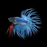 Голубые рыбы betta Crowntail, сиамские воюя рыбы Стоковое Изображение