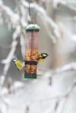 Голубые синицы и большая синица на фидере птицы Стоковые Фотографии RF
