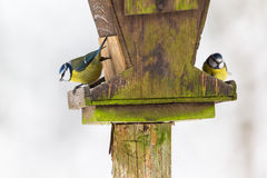 Голубые синицы на фидере птицы Стоковые Изображения