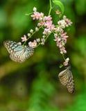 Голубые стекловидные бабочки тигра в саде Стоковые Изображения