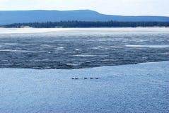 Голубые утки озера Стоковое Фото