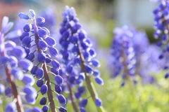 Голубые цветения Стоковая Фотография RF