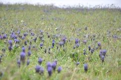 Голубые цветки в поле Стоковая Фотография