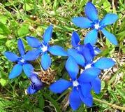 Голубые цветки в швейцарских Альпах Стоковое Изображение RF