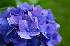 Голубые цветки гортензии Стоковое Изображение