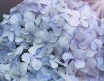 Голубые цветки гортензии Стоковые Фотографии RF