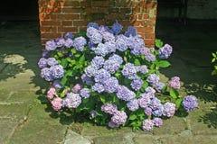 Голубые цветки гортензии Стоковая Фотография