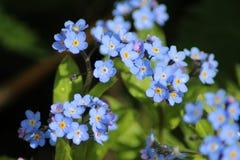 голубые цветки забывают меня не стоковая фотография rf