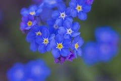 голубые цветки забывают меня не Стоковые Фото