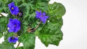 Голубые цветки и распространение листвы Стоковое Фото