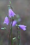 Голубые цветки колокольчика. Стоковое Изображение RF