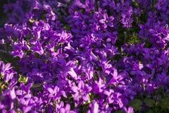 Голубые цветки колокольчика Стоковая Фотография RF