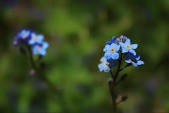голубые цветки малые Стоковые Изображения