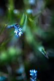 голубые цветки немногая Стоковое Фото