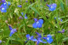 Голубые цветки лобелии Стоковые Фото