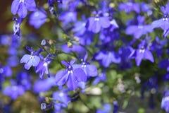 Голубые цветки под солнцем лета стоковая фотография rf