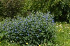 голубые цветки поля против предпосылки голубые облака field wispy неба природы зеленого цвета травы белое Стоковые Изображения