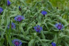 голубые цветки поля против предпосылки голубые облака field wispy неба природы зеленого цвета травы белое Стоковая Фотография RF