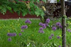 голубые цветки поля против предпосылки голубые облака field wispy неба природы зеленого цвета травы белое Стоковая Фотография