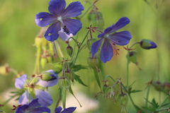 голубые цветки поля стоковое фото