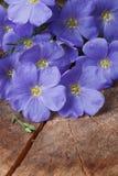 Голубые цветки льна закрывают вверх по вертикали стоковое фото