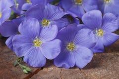 Голубые цветки льна закрывают вверх по горизонтальной Стоковая Фотография