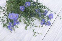 Голубые цветки льна с бутонами стоковые изображения