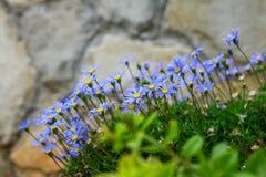 голубые цветки стоковое изображение