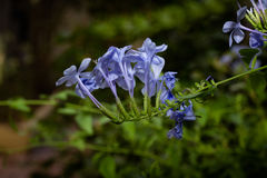 голубые цветки Стоковые Фотографии RF