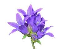 Голубые цветки (cephalotes колокольчика) 15 Стоковые Изображения