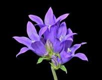 Голубые цветки (cephalotes колокольчика) 14 Стоковое фото RF