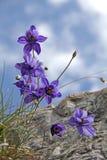 Голубые цветки (einseleana aquilegia) и небо Стоковое Изображение RF