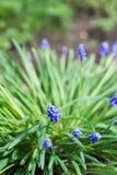 Голубые цветки muscari Стоковое Изображение RF
