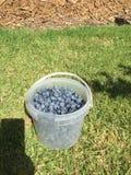 Голубые ягоды в ведерке Стоковые Изображения