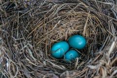 Голубые яичка и солома Стоковое Фото