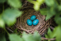 Голубые яичка Робина в гнезде Стоковое Изображение