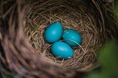 Голубые яичка Робина в гнезде Стоковые Изображения