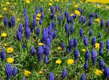 Голубые botryoides Muscari с желтым одуванчиком стоковые изображения