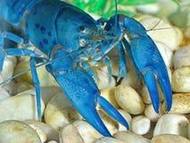 голубые crayfish Стоковые Изображения