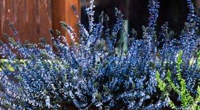 Голубые flowrs Стоковые Фотографии RF
