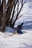 голубые jays 2 Стоковые Изображения