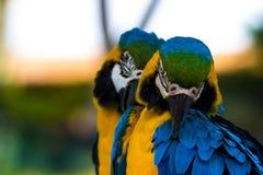 голубые macaws золота Стоковое Изображение RF