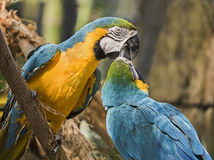 голубые macaws золота Стоковая Фотография