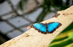 Голубые peleides Morpho бабочки Morpho Стоковое Изображение RF